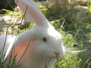 white rabbit eating fresh grass